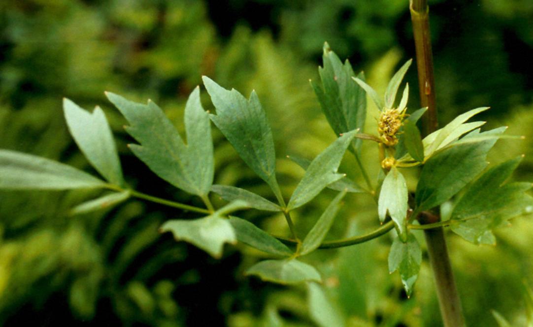 Liveche - Plant de Levisticum officinalis