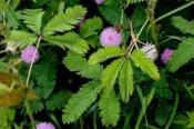 Mimosa pudica - 50 graines de plante sensitive