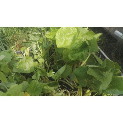 Wasabi wasabia japonica plants for Plante wasabi