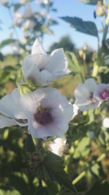Guimauve - Plant d'Althaea officinalis et culture