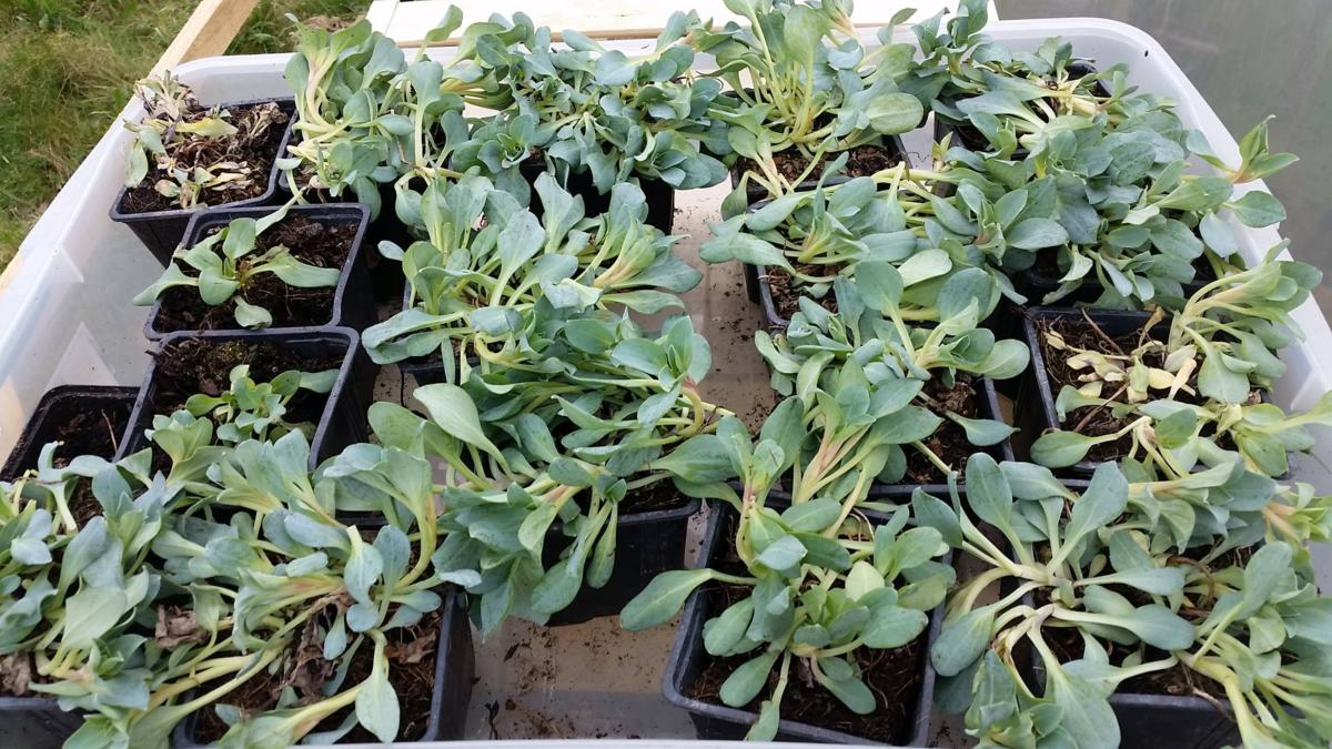 Mertensia maritima plante go t d 39 huitre for Plante huitre