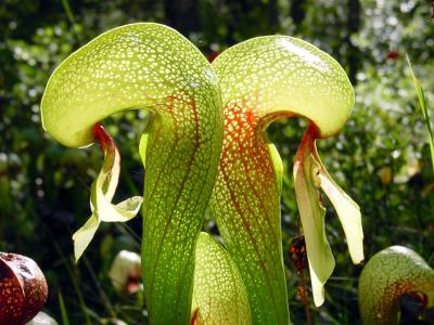 Plante cobra Darlingtonia californica - Plante carnivore unique dans son espèce